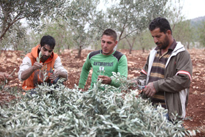 Palestinian olive workers