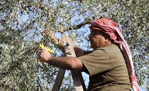 Farmer harvests olive branches in Palestine